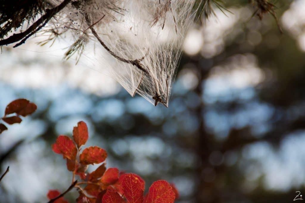 Spinnennetze in den Tannen, Südtirol