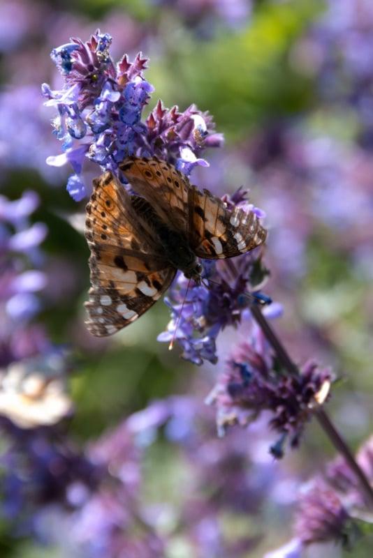 Schmetterling Sylt